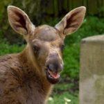 Losí boom v českých zoo