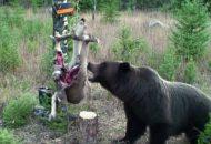 medvěd hnědý grizzly