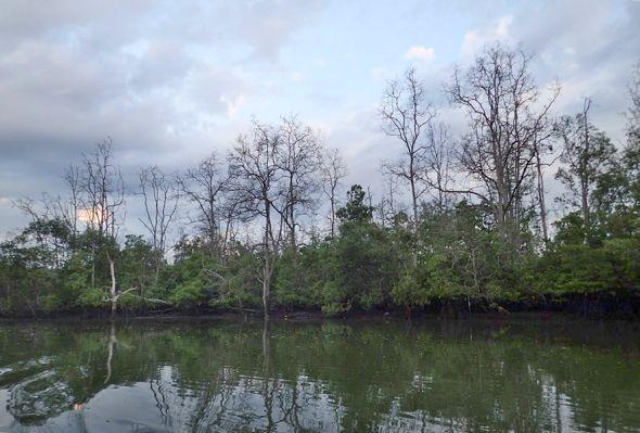 vymírání: umírající mangrovy na řece Somber