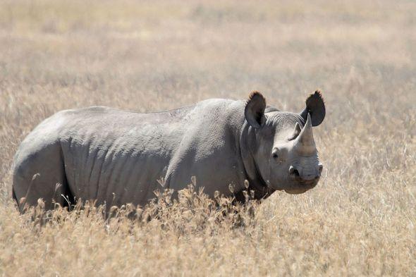 Nosorožec ostronosý