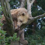 medvěd hnědý ZOO Tábor