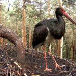 LIVECAM: Hnízdění čápa černého