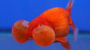 zlatá rybka balónové oči