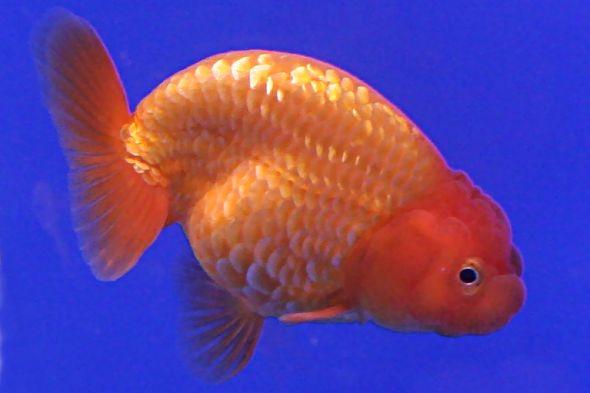 zlatá rybka přeražená páteř
