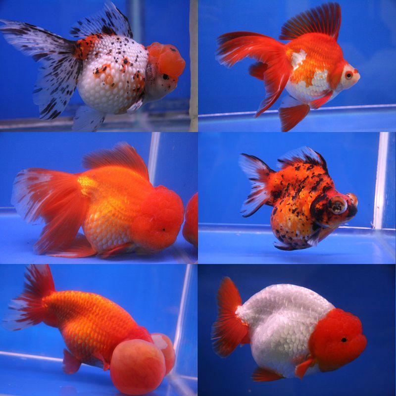 zlaté rybky mutace - deformované akvarijní rybičky