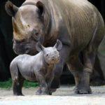 Druhé mládě nosorožce ve Dvoře Králové