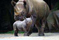 nosorožec dvourohý mládě