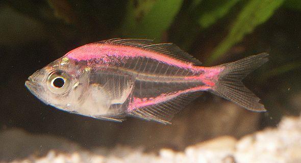 okounek sklovitý dobarvený - akvarijní rybičky