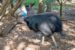 kasuár přilbový samec otec