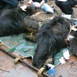 "Týraná medvědice ze ""žlučové farmy"" si dnes užívá"