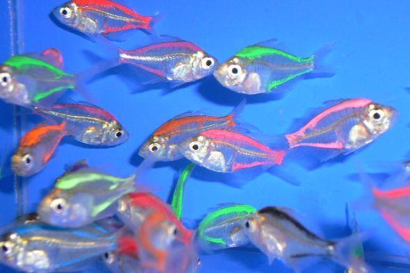 okounek skleněný dobarvený - akvarijní rybičky