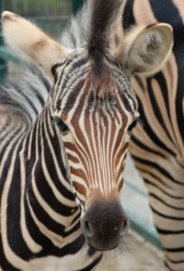 zebra mládě