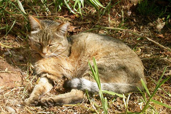 africká divoká kočka