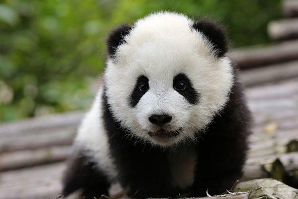 panda velká mládě