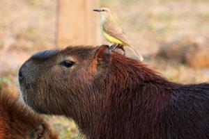 kapybara s tyranem dobytčím