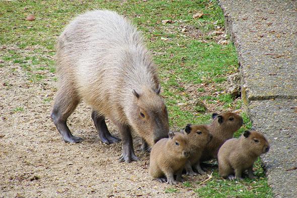 kapybara s mláďaty