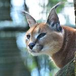 Genetika přehodnocuje příbuzenské vztahy kočkovitých šelem