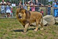 lev Simba