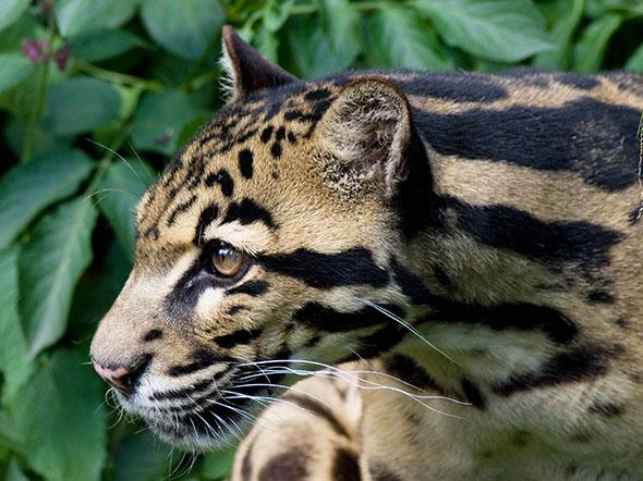 Skutečně poznáte kočku na obrázku? Pozor, není to levhart obláčkový, ale levhart Diardův, poměrně nově popsaný samostatný ostrovní druh z jihovýchodní Asie. Spolu se svým nejbližším příbuzným, levhartem obláčkovým, patří do skupiny Panthera. Kredit: Spencer Wright, Wikimedia.org – CC BY 2.0