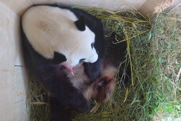 panda mládě