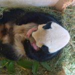 panda dvojčata Vídeň