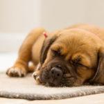 pes spící