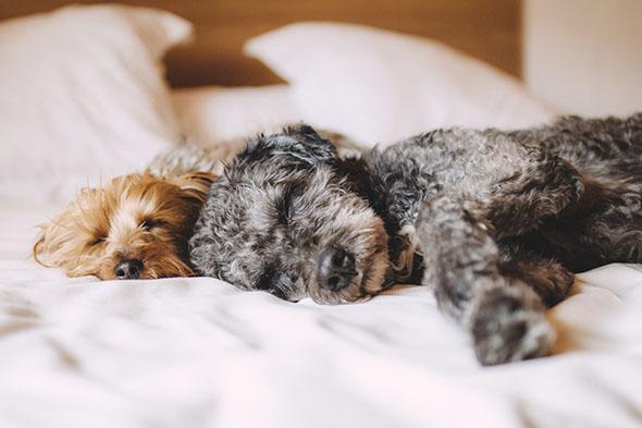 psi spící