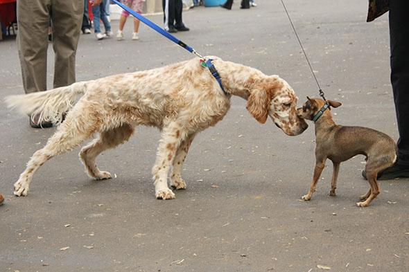 Psí rozhovor - zatímco větší pes se přátelsky a sebevědomě vrhá vpřed, druhý pejsek jeví zřetelné obavy a ocas stahuje pod tělo. S ohledem na velikostní rozdíl se mu ani moc nelze divit... Kredit: Nick Ares, Wikimedia.org – CC BY-SA 2.0