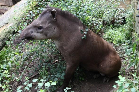 tapír jihoamerický