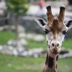 žirafa v zoo Jihlava