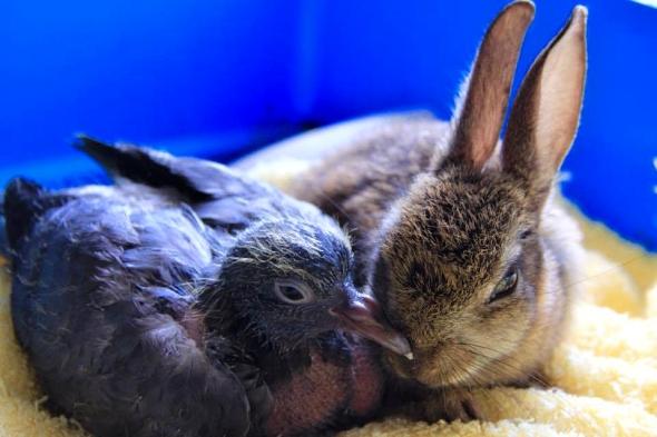 holub a králíček