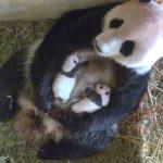 pandí dvojčata ZOO Vídeň