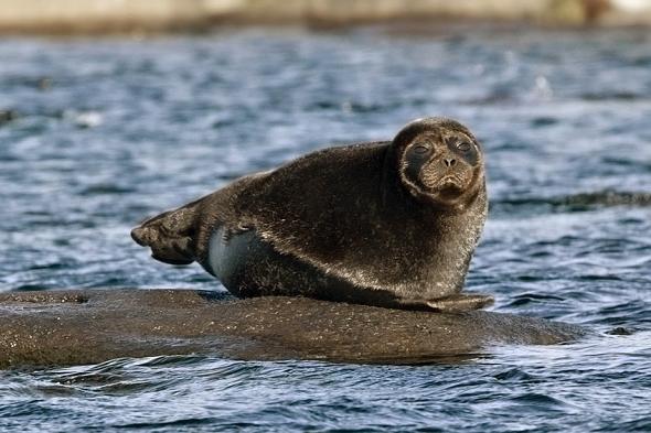 Tuleň kroužkovaný ladožský patří mezi ohrožené druhy. | Kredit: Alexander Butakov, CC BY-SA 3.0