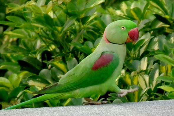 papoušek alexandr velký