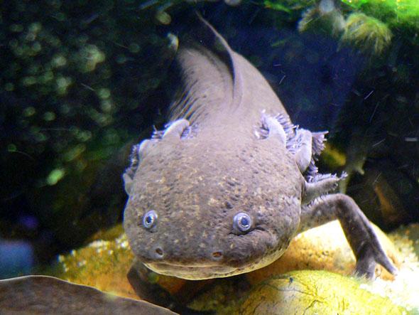 axolotl mexický
