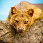 Fosa – královna Madagaskaru
