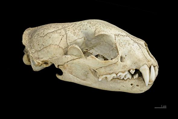 lebka fosy