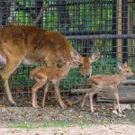 V Praze se narodila dvojčata ohroženého jelena
