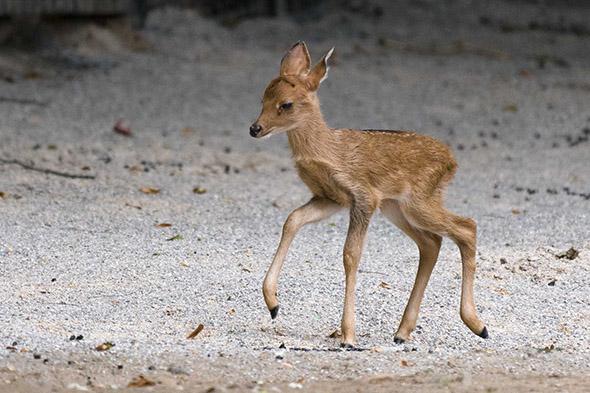 mládě jelena lyrorohého