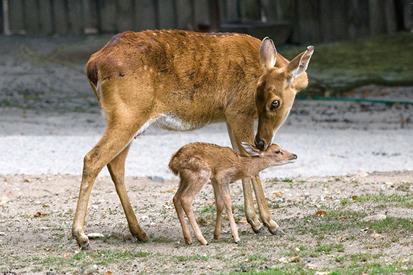 jelen lyrorohý mládě