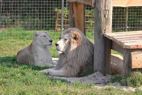 jihoafrický lev bílý