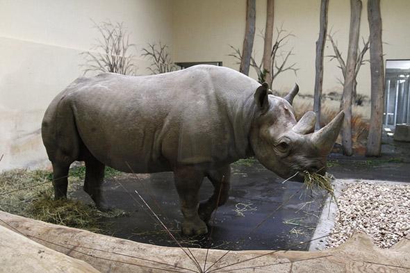 nosorožec v zoo Dvůr Králové