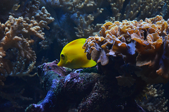 bodlok žlutý na Rajských ostrovech