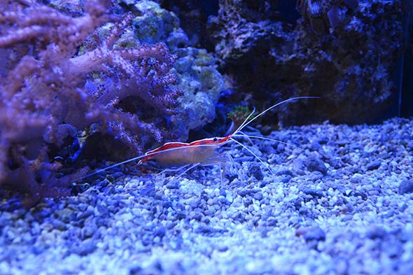 krevetka pruhovaná na Rajských ostrovech