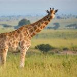 Konec žirafám tak, jak jsme je znali doposud