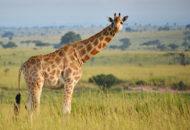 žirafa severní núbijská (Giraffa camelopardalis camelopardalis)