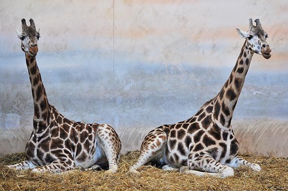 žirafa severní núbijská