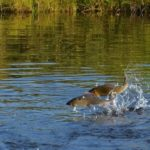 Rybí líheň pomáhá pstruhům i perlorodkám