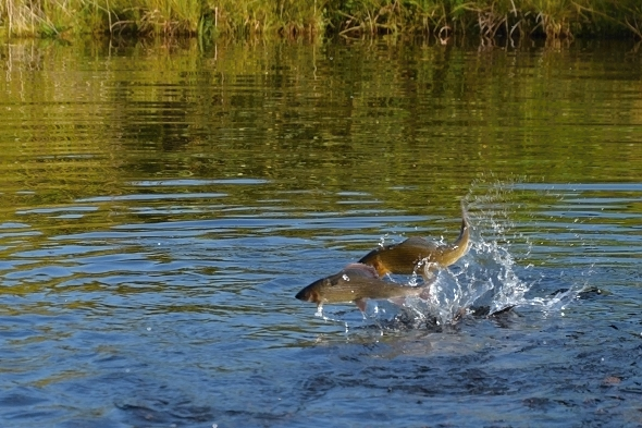 rybí líheň