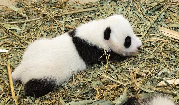 jedno dovjče pandy velké v Zoo Vídeň